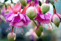 Фуксия: зимний покой и размножение растений