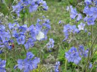 Лекарственные свойства синюхи