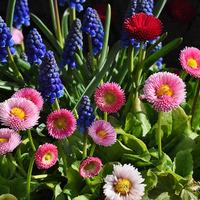 Какие съедобные цветы можно вырастить на участке?
