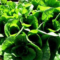 Посев зелени как альтернатива выгонке