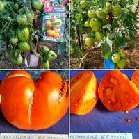 Мой выбор томатов на посев 2020 год