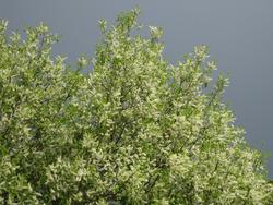 Черемуха: полезные свойства и размножение