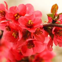 Удивительный хеномелес: выращивание и уход