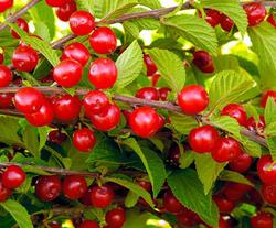 6 причин выращивания войлочной вишни
