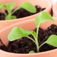 Когда и как сеять петунию на рассаду