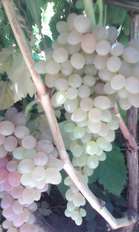 Селекция винограда для северных регионов