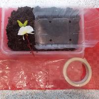 """Рассада в """"памперсах"""". Лайфхак для легкого выращивания рассады в пленке с беспроблемным увеличением объема земли."""