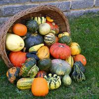Декоративная тыква: зачем и как выращивают
