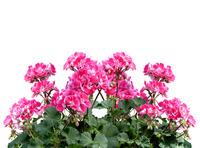 Тонкости размножения комнатных цветов черенками