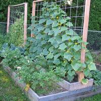 Огурцы на шести сотках: 3 варианта выращивания