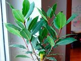 Лавровый лист семена