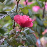 Слепые побеги на розах
