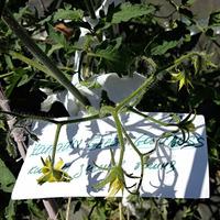 Томатные реалии 2020, в открытом грунте, 15 июня темноплодные и зеленоплодные сорта
