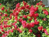 Ослепительная красота плетистых роз. Основы