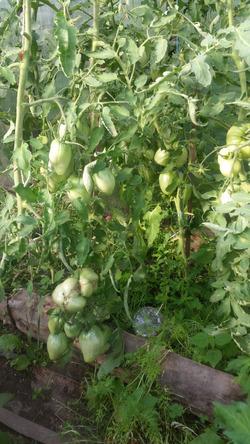 У меня теперь тоже растут помидоры!!!
