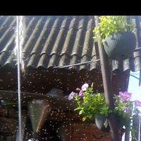 Пчелиное новоселье.