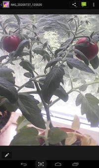Комнатние. помидори.