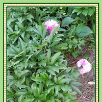 Трудности выживания цветов на сибирской даче.