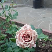 Моя клумба роз 1. Солнечная.