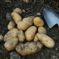 Картошка и засуха. Растет ли картошка в Сахаре?