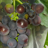 Битва за виноград. Я и осы.
