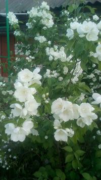 Чудесный аромат жасмина. Выращивание