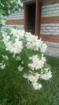Чудесный аромат жасмина. Размножение