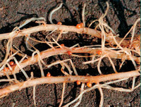 Ематода - та еще напасть для любого садовода