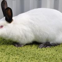 Выбираем мясную породу кроликов для разведения