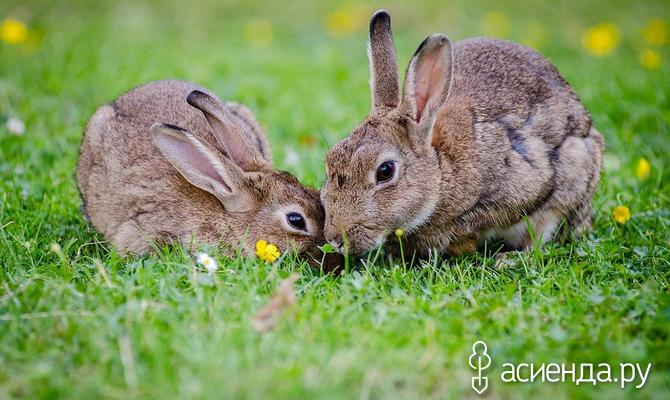 Как выбирать кролей для разведения