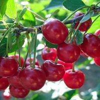 Интересные факты о вишне