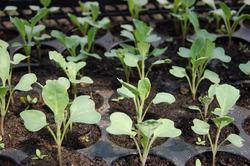 Капуста: как вырастить здоровую рассаду