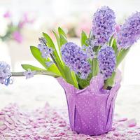 Тюльпаны, нарциссы, гиацинты после выгонки