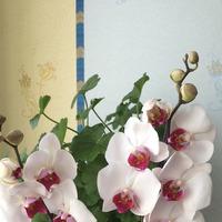 Размножение орхидеи. Мой первый опыт.