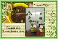 Черенкование прошлогоднего томата-гнома и ещё несколько сортов помидоров.