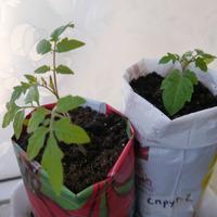 Расти помидорка - большая и маленькая