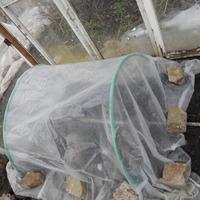 Выращивание томатов посевом напрямую в теплице