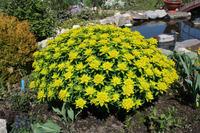 Молочай многоцветковый – украшение сада
