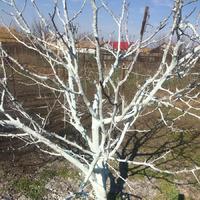 Первая обработка садовых деревьев и кустов.