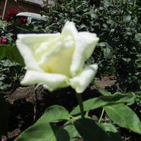 Утром роза раскрыла под ветром бутон...