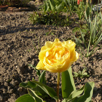 Хотите чтобы тюльпаны зацвели раньше?