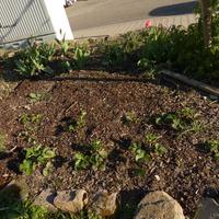 Земляника в саду, мои проблемы и надежды