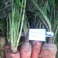 Сажаем морковь!