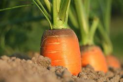 Морковь: хитрости посева красной девицы