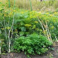 А у вас растёт укроп кустовой?