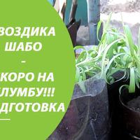 Гвоздика Шабо из семян - показываю что у меня получилось / Рассаде 3 месяца!