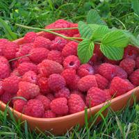 Как получить хороший урожай малины?