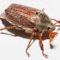 Чем опасен майский жук