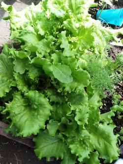 Выращиваю салат из черешков-корешков