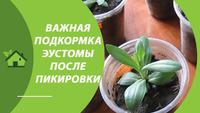 КАЛЬЦИЕВАЯ СЕЛИТРА для ПОДКОРМКИ рассады ЭУСТОМЫ / Как развести и использовать в домашних условиях